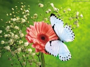Farfalla Jessica